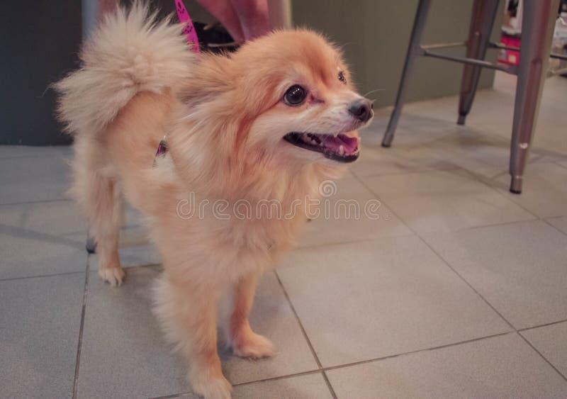 Cão de Pomeranian bonito imagens de stock royalty free