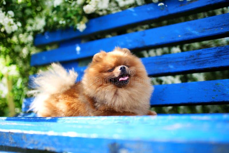 Cão de Pomeranian em um banco azul Cão feliz Cão bonito em um parque Pomeranian adorável imagens de stock royalty free