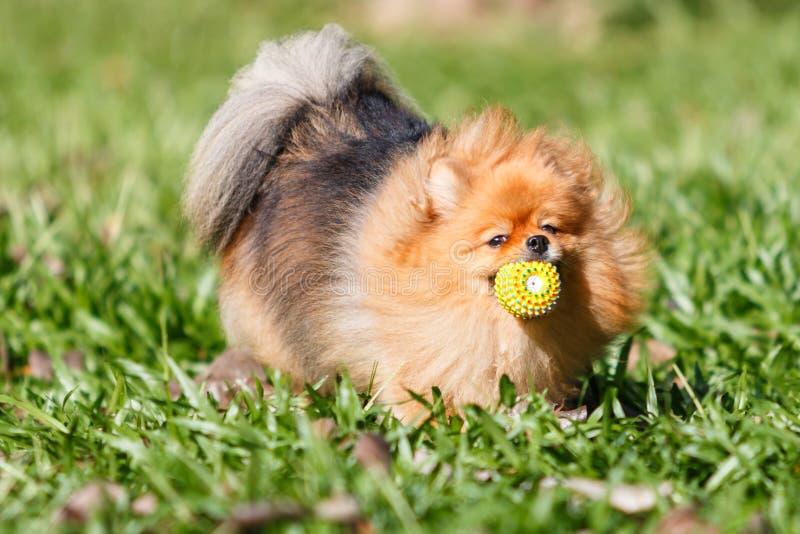 Cão de Pomeranian que joga com um brinquedo da bola na grama verde no peixe-agulha fotos de stock royalty free