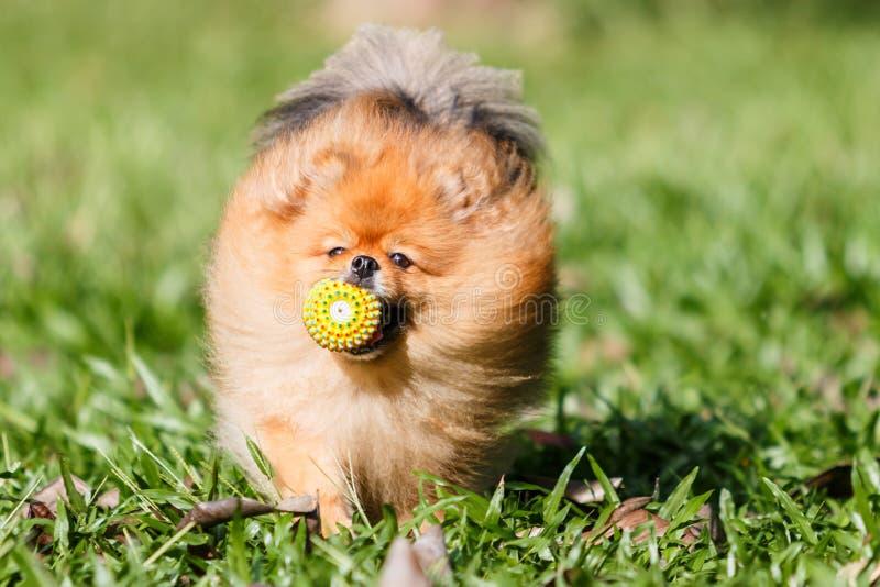 Cão de Pomeranian que joga com um brinquedo da bola na grama verde no peixe-agulha imagem de stock royalty free