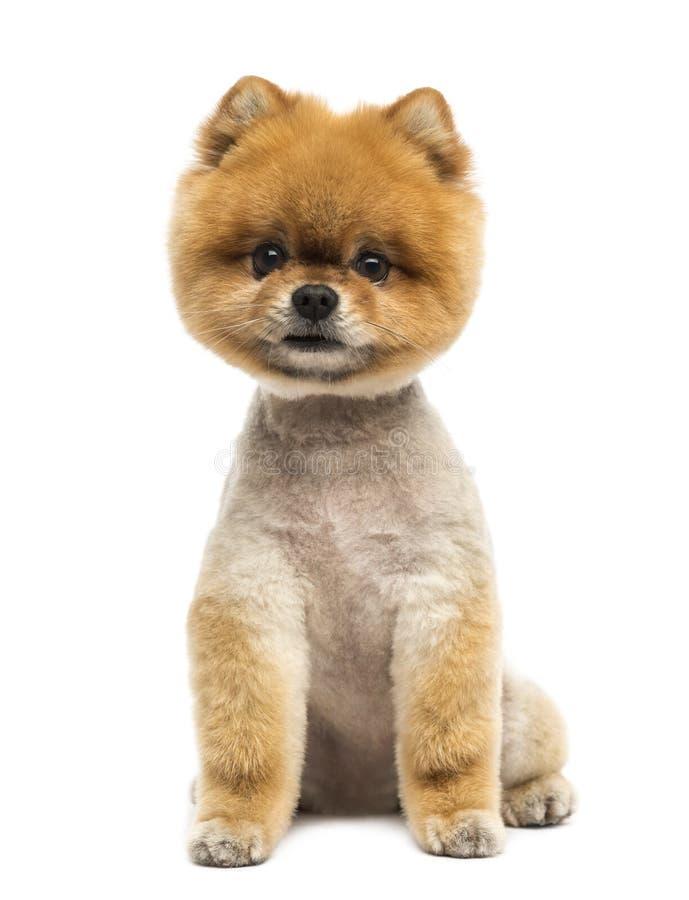 Cão de Pomeranian que senta e que olha a câmera foto de stock royalty free
