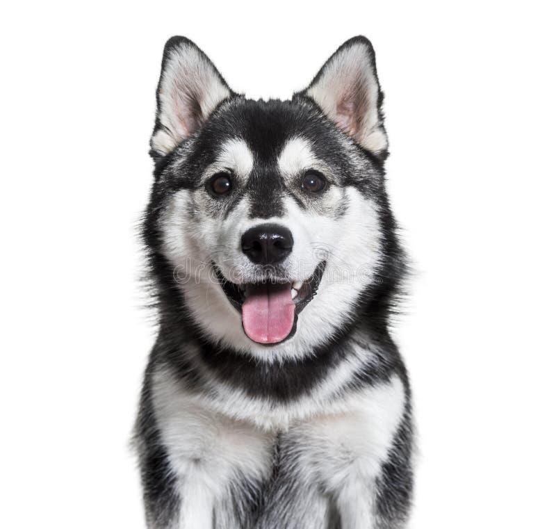 Cão de Pomsky que arfa contra o fundo branco fotos de stock