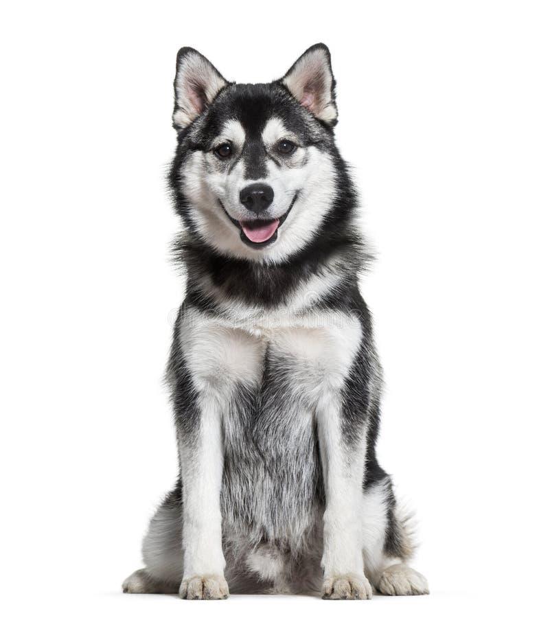 Cão de Pomsky que senta-se contra o fundo branco imagem de stock royalty free