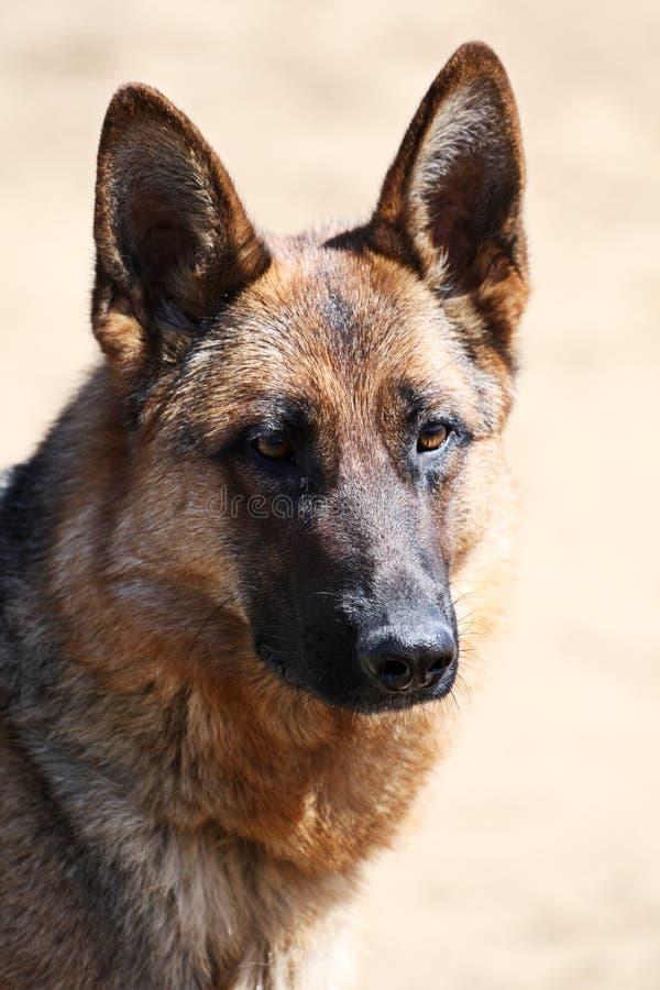 Cão de protetor fotografia de stock royalty free