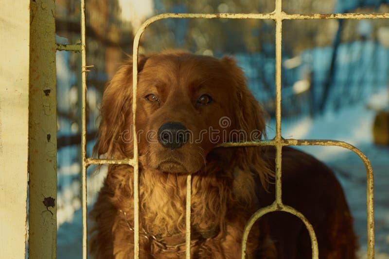 Cão de protetor de Brown fotografia de stock