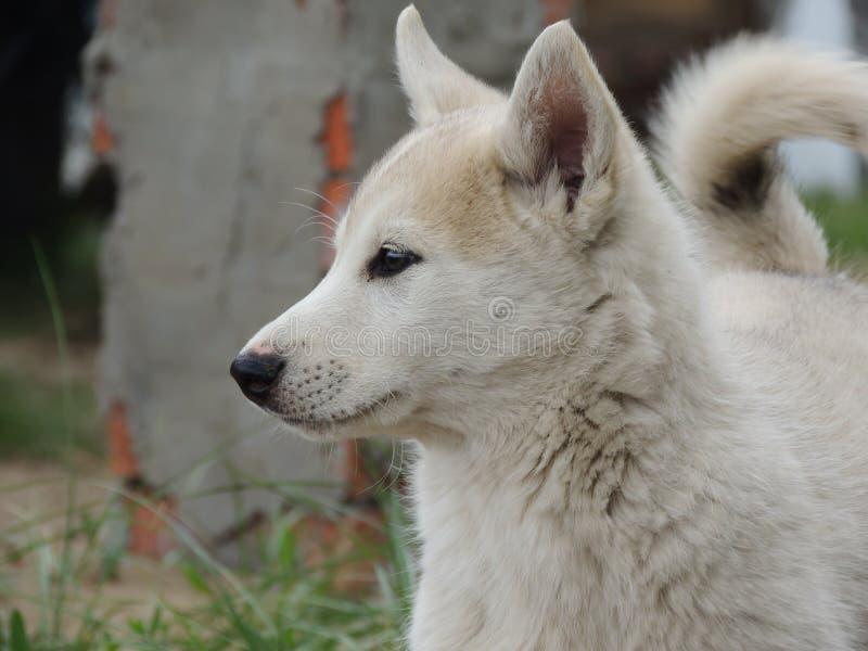 Cão de puxar trenós branco imagens de stock