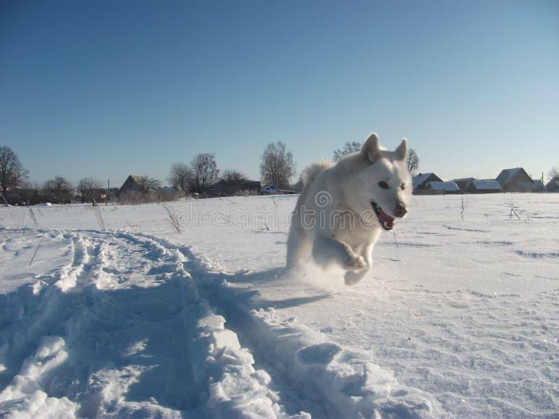 Cão de puxar trenós branco imagem de stock