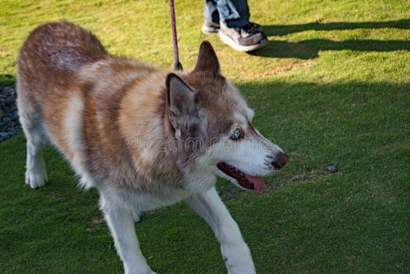 Cão de puxar trenós com olhos azuis e língua imagens de stock