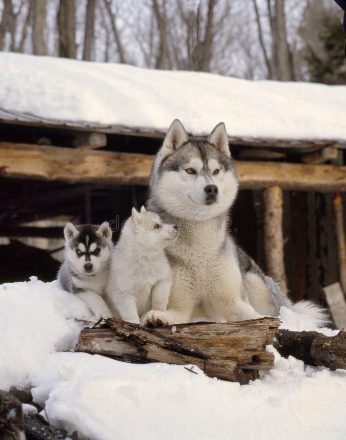 Cão de puxar trenós da mãe com 2 cachorrinhos foto de stock royalty free