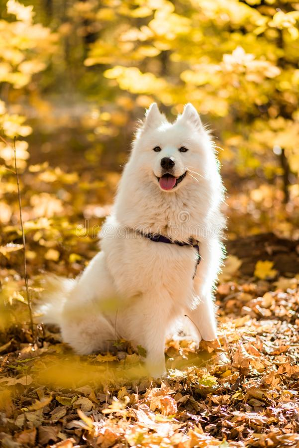 Cão de puxar trenós do samoyed da raça do cão Canino, retrato fotografia de stock