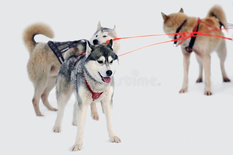 Cão de puxar trenós do trenó na trela imagens de stock royalty free
