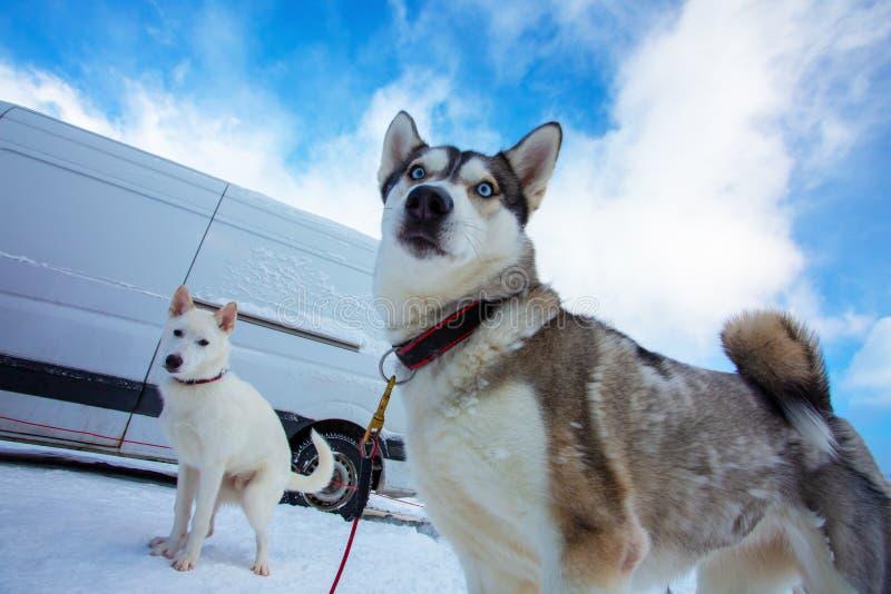 Cão de puxar trenós dois bonito Dois cães de trenó espetaculares no fundo da neve branca e do céu azul imagem de stock