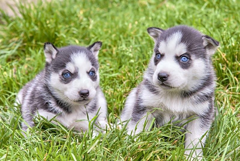 Cão de puxar trenós dois siberian imagens de stock royalty free