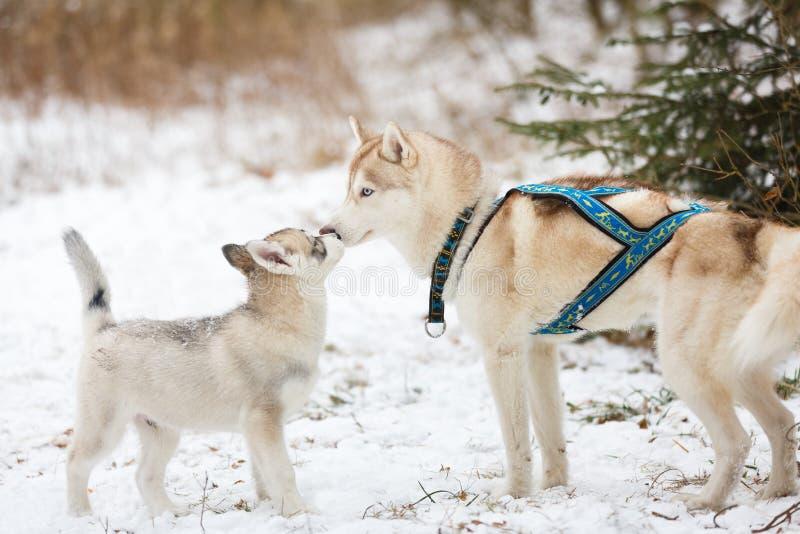 Cão de puxar trenós e cachorrinho adultos imagem de stock royalty free