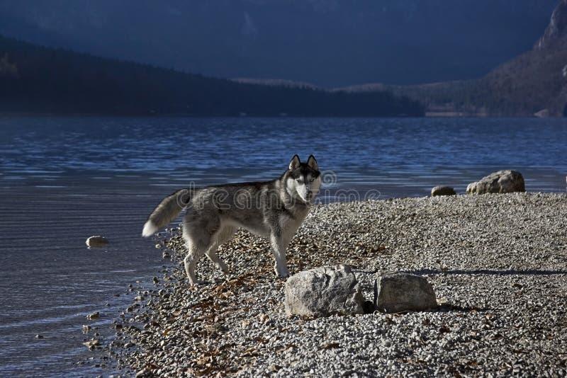 Cão de puxar trenós em um lakeshore (2) fotografia de stock royalty free