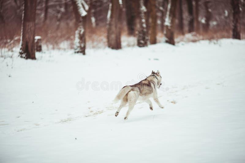 Cão de puxar trenós na neve branca imagens de stock