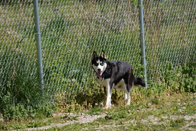 Cão de puxar trenós no parque do cão imagens de stock