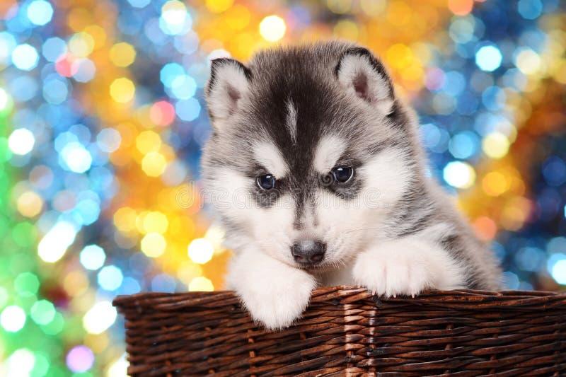 Cão de puxar trenós preto e branco bonito do cachorrinho na cesta marrom no co festivo foto de stock
