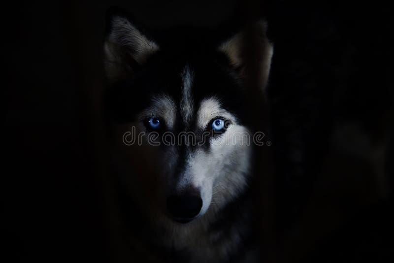 Cão de puxar trenós Siberian imagem de stock royalty free