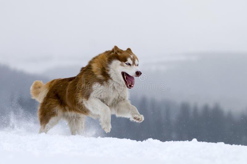 Cão de puxar trenós Siberian. fotografia de stock royalty free