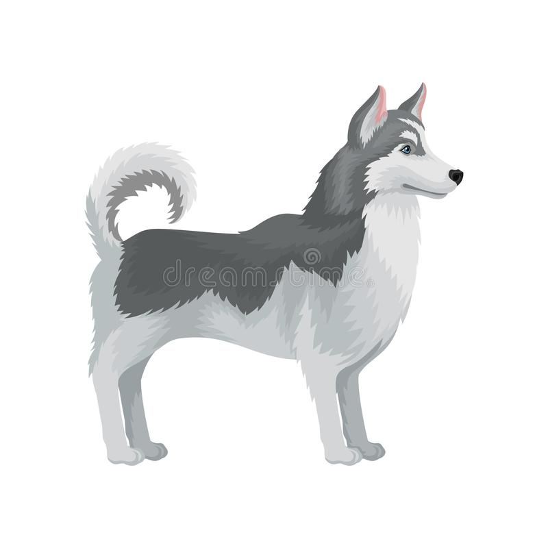 Cão de puxar trenós Siberian adulto que está na cremalheira, vista lateral Cão com pele cinzenta Vetor liso para anunciar a bande ilustração royalty free