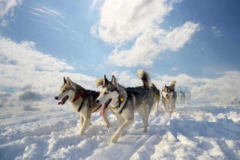 Cão de puxar trenós Siberian da raça do cão de trenó imagens de stock