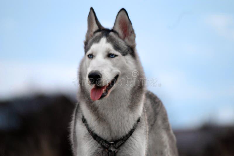 Cão de puxar trenós siberian de olhos azuis fotografia de stock royalty free