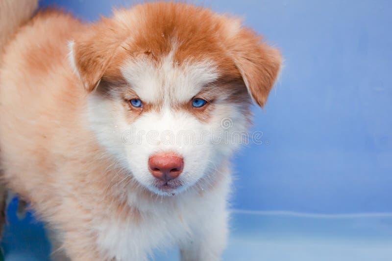 Cão de puxar trenós siberian do cachorrinho bonito foto de stock