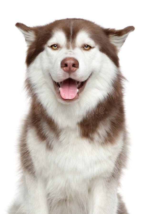 Cão de puxar trenós Siberian feliz fotografia de stock