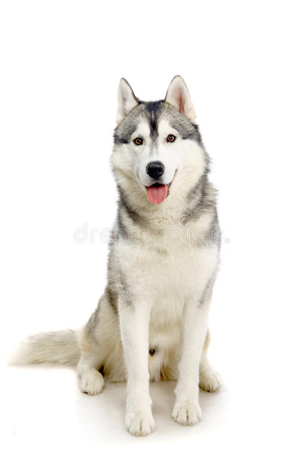 Cão de puxar trenós Siberian no branco fotos de stock royalty free