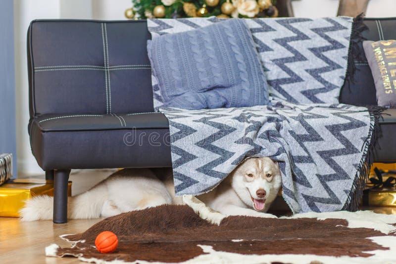 Cão de puxar trenós Siberian preguiçoso na sala de visitas, sorriso, macio imagens de stock royalty free