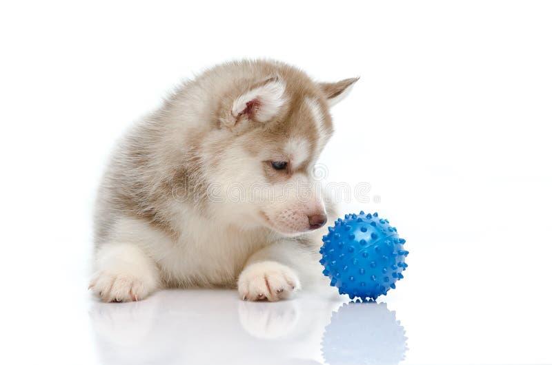 Cão de puxar trenós Siberian que joga com uma bola imagem de stock