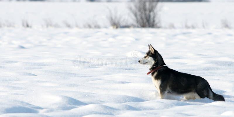 Cão de puxar trenós Siberian que procura coelhos foto de stock royalty free