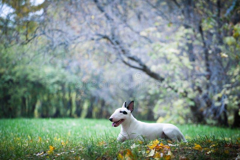 Cão-de-raça-touro branco com um ponto preto perto do olho imagens de stock royalty free
