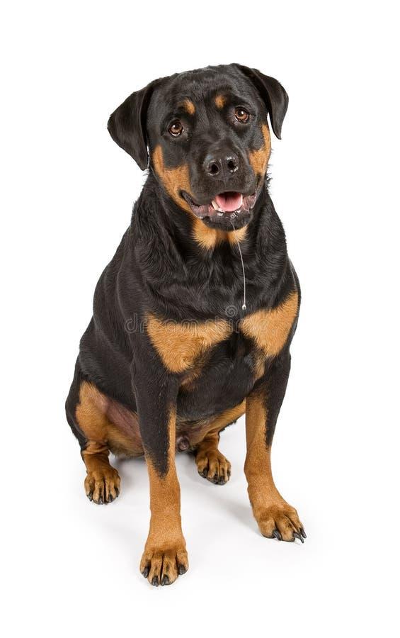 Cão de Rottweiler com drool fotografia de stock royalty free