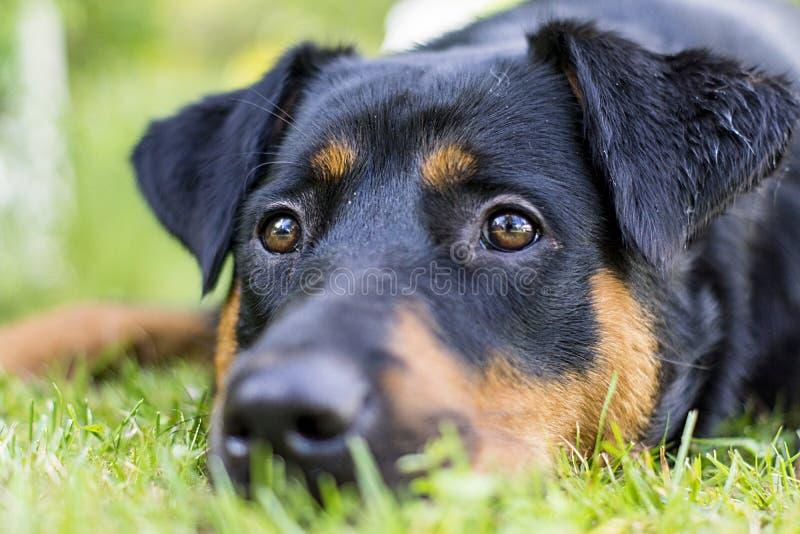Cão de Rottweiler que dorme na grama fotografia de stock