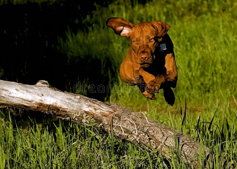 Cão de salto imagens de stock royalty free