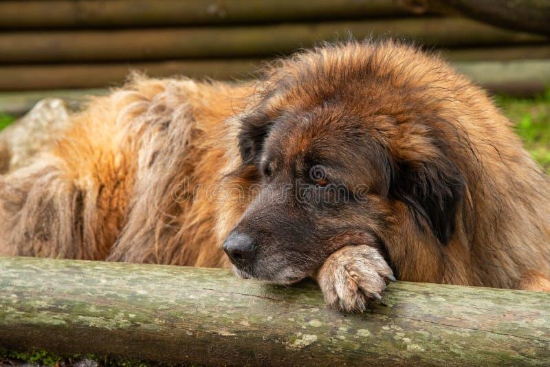 Cão de Serra da Estrela Portuguese imagens de stock