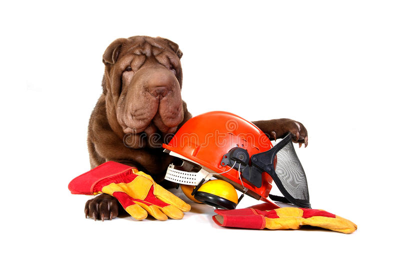 Cão de Sharpei com capacete de segurança foto de stock royalty free
