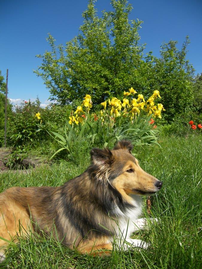 Cão de Sheltie fotos de stock
