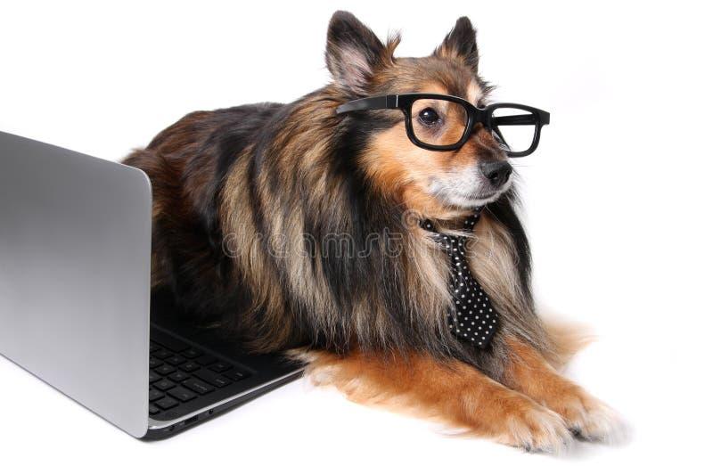Cão de Sheltie no escritório imagens de stock