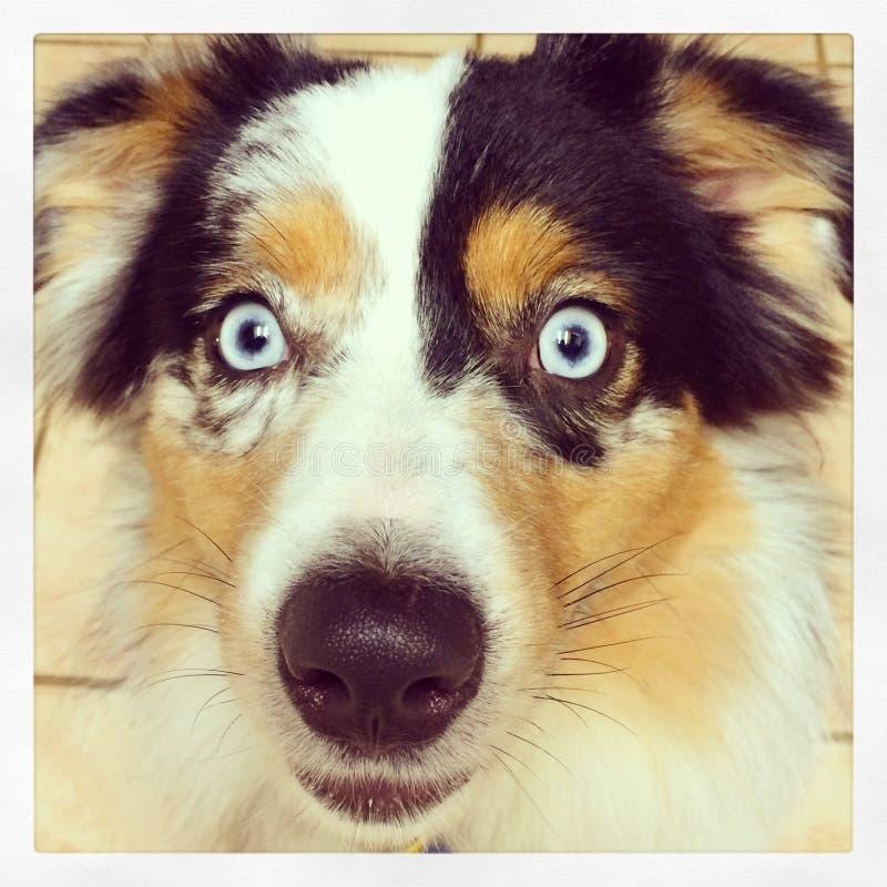 Cão de Shepard do australiano fotos de stock