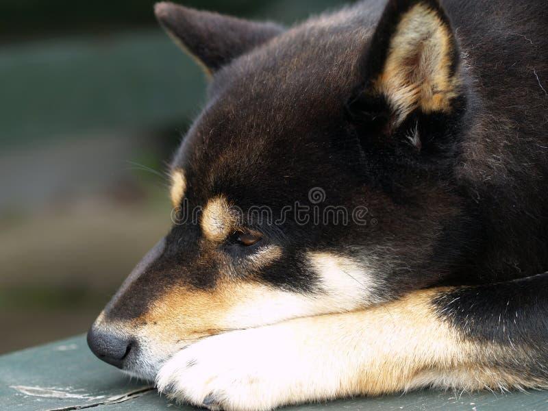 Cão de Shiba Inu fotografia de stock