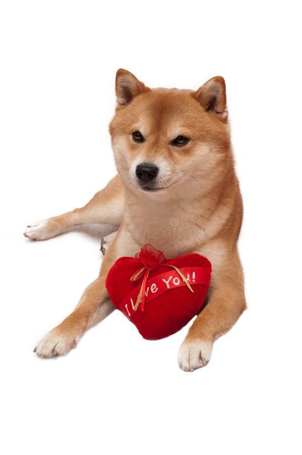 Cão de Shiba Inu na frente de um fundo branco com coração vermelho fotografia de stock royalty free