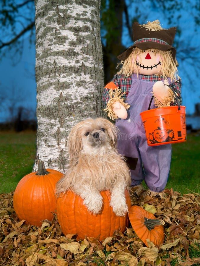 Cão de Shih Tzu na abóbora de Halloween do outono imagem de stock