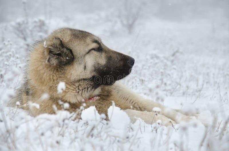 Cão de Sivas Kangal que encontra-se na neve fotografia de stock