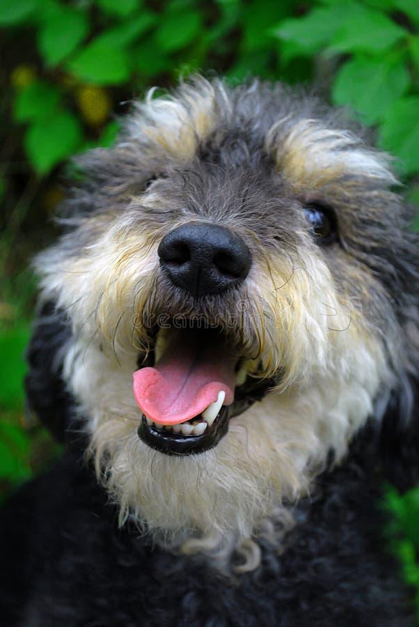 Cão de sorriso fotos de stock royalty free