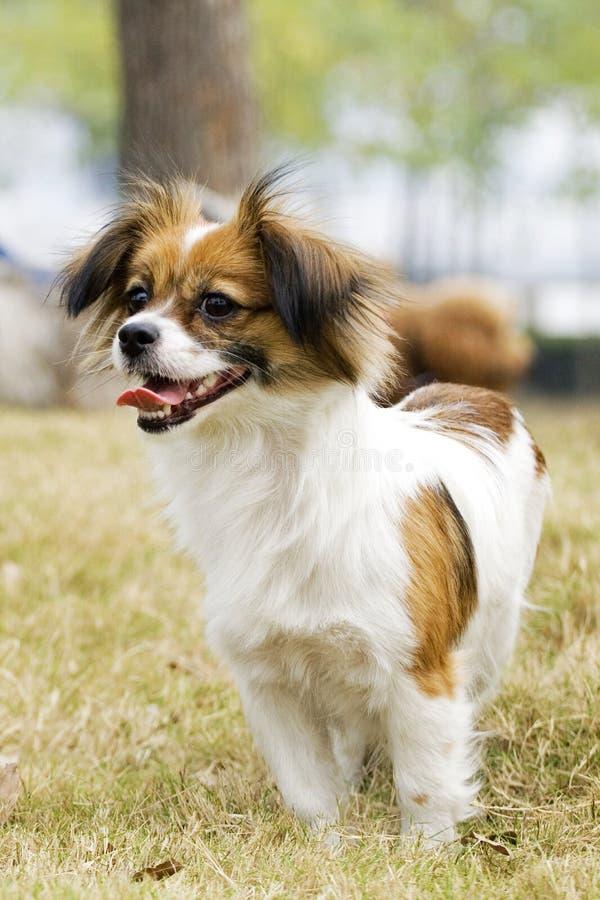 cão de sorriso de Papillon fotografia de stock