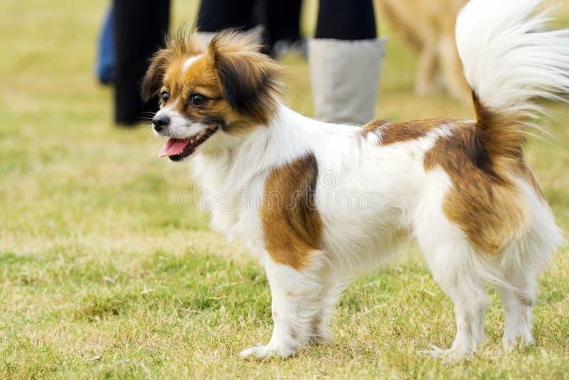 Cão de sorriso de Papillon imagens de stock