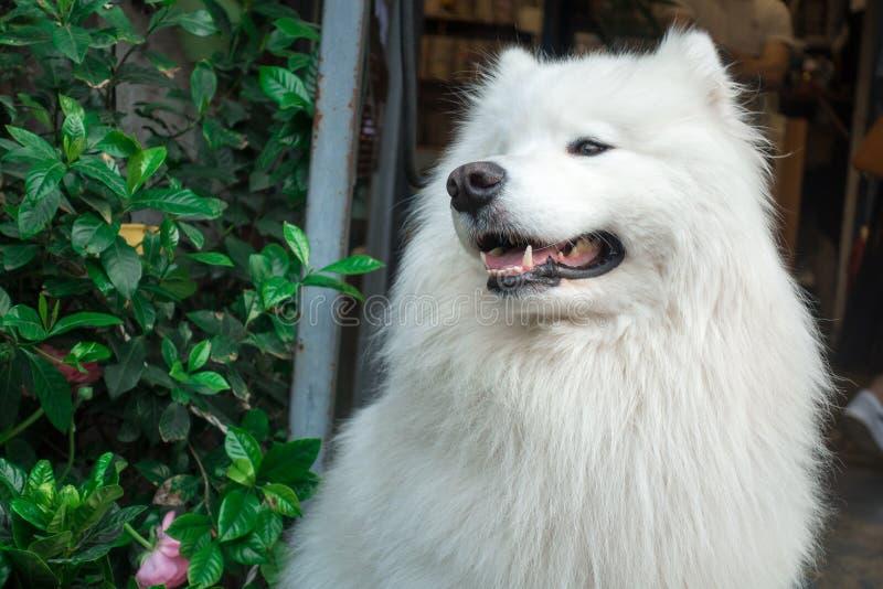 Cão de sorriso do samoye do anjo imagem de stock royalty free